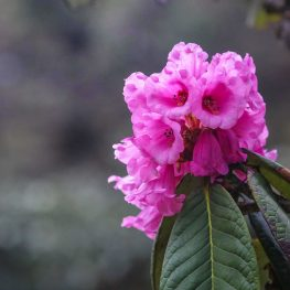 Rhododendron Festival – 17 to 19 Apr, 2020